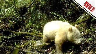 全球首例白色大熊猫现身四川 专家:系白化个体