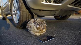 河豚VS苹果手机,哪个能抗住汽车轮胎的碾压?结果让人难以信服!
