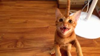 吸吸:我把我家猫鬼畜了!橘猫翻唱《走马》,没见过这么萌的版本