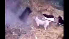 宜宾县 村民带狗围杀咬死过人的野猪,视频曝光!