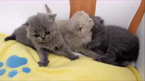可爱的猫咪小朋友肉肉的毛茸茸的,给人感觉真