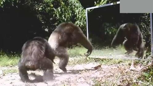 在野生动物园里放一面镜子,结果一大群猩猩集体懵圈了