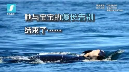泪目!虎鲸妈妈难舍夭折幼鲸 托其尸体同游数天难放手