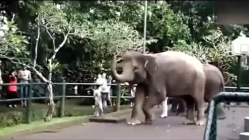 搞笑动物,这只大象厉害了!