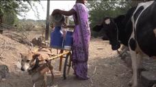 8岁狗狗帮主人拉车6年,每天都送50斤牛奶,一天两次,任劳任怨