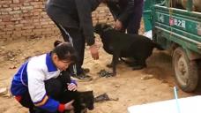 狗市上一条成年拉布拉多,只卖了350块钱,论斤卖也比这贵