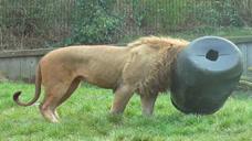 雄狮把头伸进桶里,下一秒憋住别笑,游客:快被它给蠢哭了