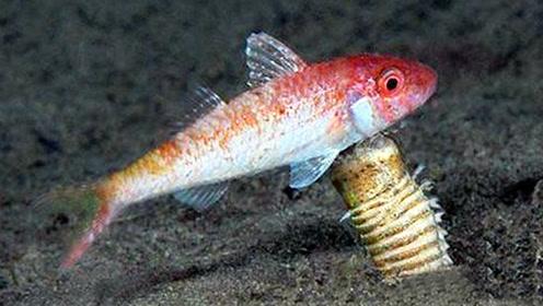 鱼缸养鱼数天全部消失不见!鱼缸泥沙下发现大