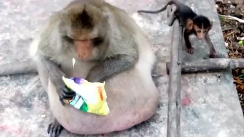 动物界那些搞笑的胖子们,将它们放回自然还能