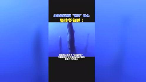 抹香鲸是站着睡觉的,知道为什么吗,难道不怕被偷袭?