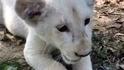 当一只狮子有洁癖时,看见它就觉得特别欢乐,