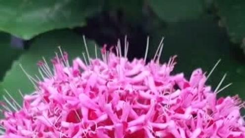 丁香牡丹花特别漂亮,还很香很好养,繁殖能力极强!