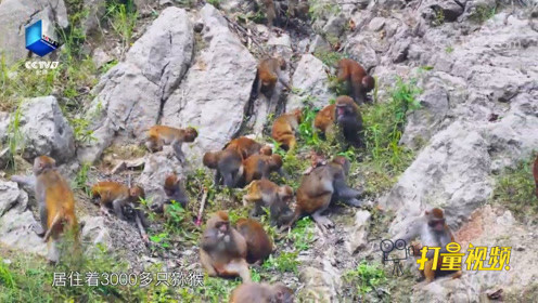 河两岸的果子全部收入囊中,猕猴们的悠哉生活让人羡慕