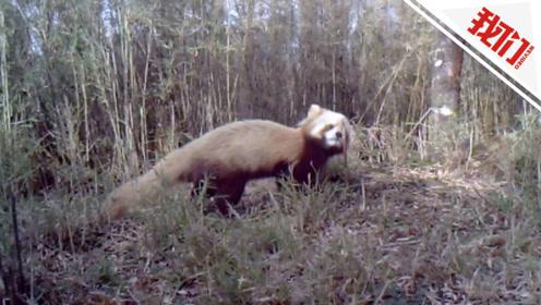 我国发现世界上首例白化小熊猫 视频直击其在野外活动画面