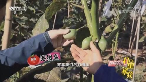 长在树上的番茄你见过么?来云南腾冲看看,味道绝对赞