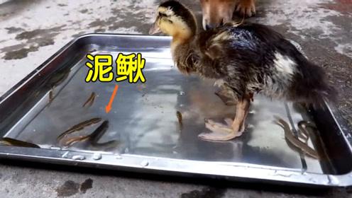 家里的鸭子不会抓泥鳅,说出来你可能不信,小鹅都嫌弃它