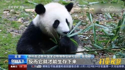 """""""战神""""变""""宅熊""""!大熊猫除了吃就是睡竟是生活所迫"""