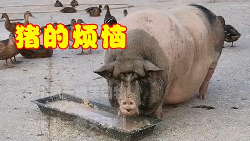 搞笑动物配音:猪的烦恼(第一弹)
