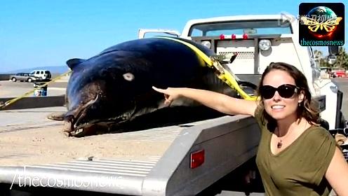 海滩上惊现罕见的剑齿鲸
