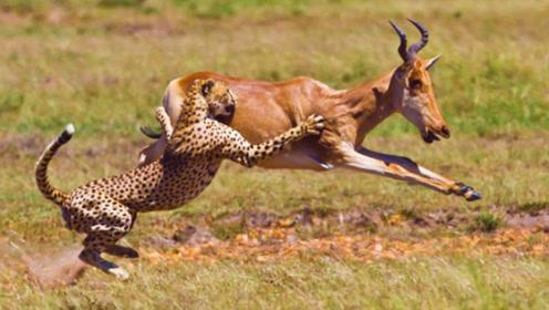 猎豹正想吃黑斑羚,狒狒实在看不下去,最后还是出手了!