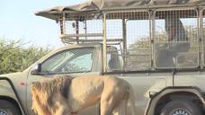 作死男子在车里挑衅狮子,下一秒意外发生了,镜头拍下全过程