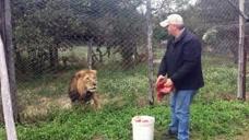 男子给雄狮喂食,狮子的眼神突然不对劲,下一秒意外发生了