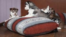 5只小哈士奇真是活泼可爱,在家里玩狗咬狗