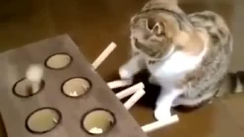 这小猫傻的太可爱了 简直就是萌翻了