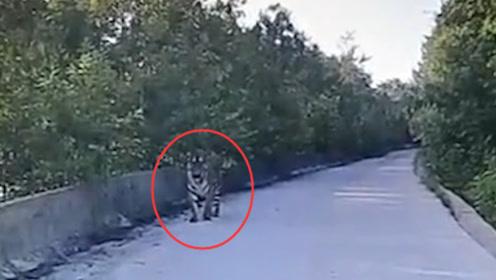 驚險!的哥開車途中偶遇野生東北虎:對峙二十分鐘!