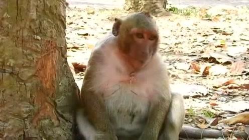 这猴子有未来当猴王的风范,走路的样子霸气十足,就是有点微胖