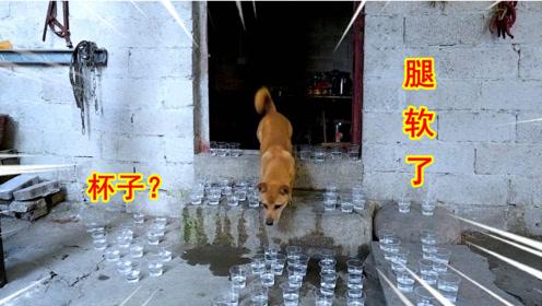 用杯子堵住狗狗的去路,狗会有什么反应?狗:腿软了