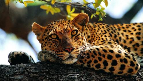 花豹独自在树上享受美食,一人吃饱全家不饿!