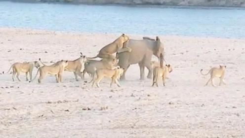 大象被十几只狮子围攻,本以为大象死定了,却低估了大象的实力了