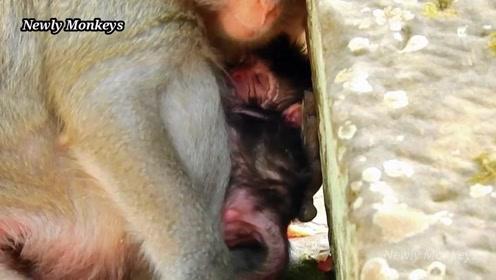 小猴儿躺在猴妈怀里,大口地喝着*水