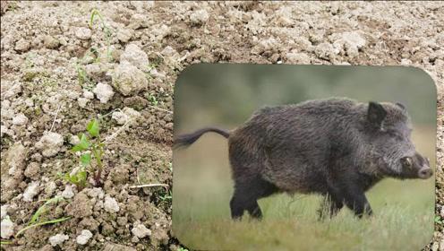农村野猪太猖狂,朱大哥家红薯苗一夜之间被野猪吃完,心都碎了
