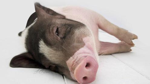 搞笑动物,宠物猪猪真的那么可爱吗!