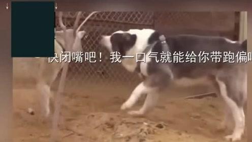 搞笑动物:狗和狼对咬,狼被狗气的都学会狗叫