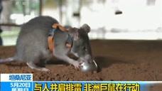 """揭秘非洲排雷鼠:安全有效率 已在七国""""上岗"""""""