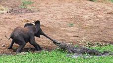 大象河边?#20154;?#34987;鳄鱼偷袭£¬咬着鼻子往河里拽¡£这次大象能脱险吗£¿