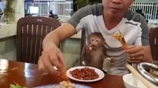 小猴子和主人在饭店吃饭,不吃主人剥的虾,吃白菜叶吃的香