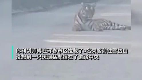 攔路虎!的哥開車送乘客偶遇東北虎,對視20分鐘不敢動。