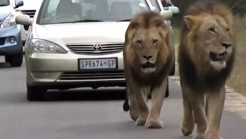 3头雄狮在公路上巡逻标记领地,造成汽车拥堵