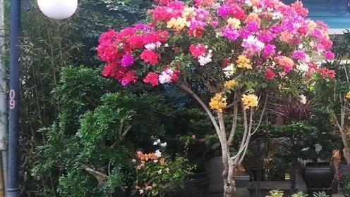 大姑娘美大姑娘浪歌曲+深圳荷兰花卉市场的美景,送给所有有情人终成眷属