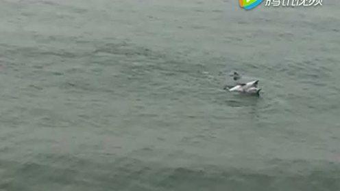 中华白海豚再次恋上南澳岛