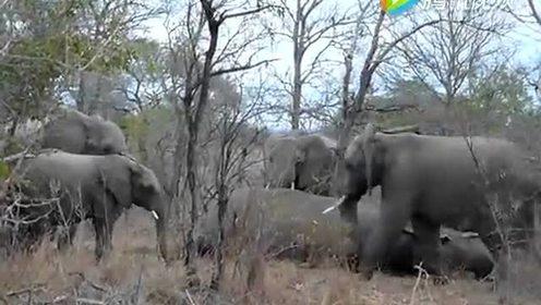 大象葬礼 无比感人