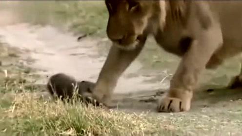 疯狂动物城 蜜獾