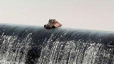 小河马经常孤单一人趴在水坝边上看风景,隔着屏幕都能感到忧伤