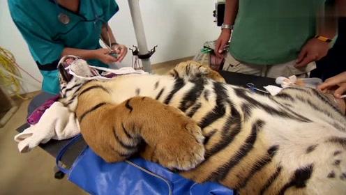 小老虎做手术的时候失去了心跳,把大家吓到了
