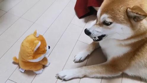 当柴犬遇到和自己一样会叫的网红玩具,当场怀