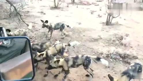 不愧是二哥,在这么多野犬的包围下都能全身而退